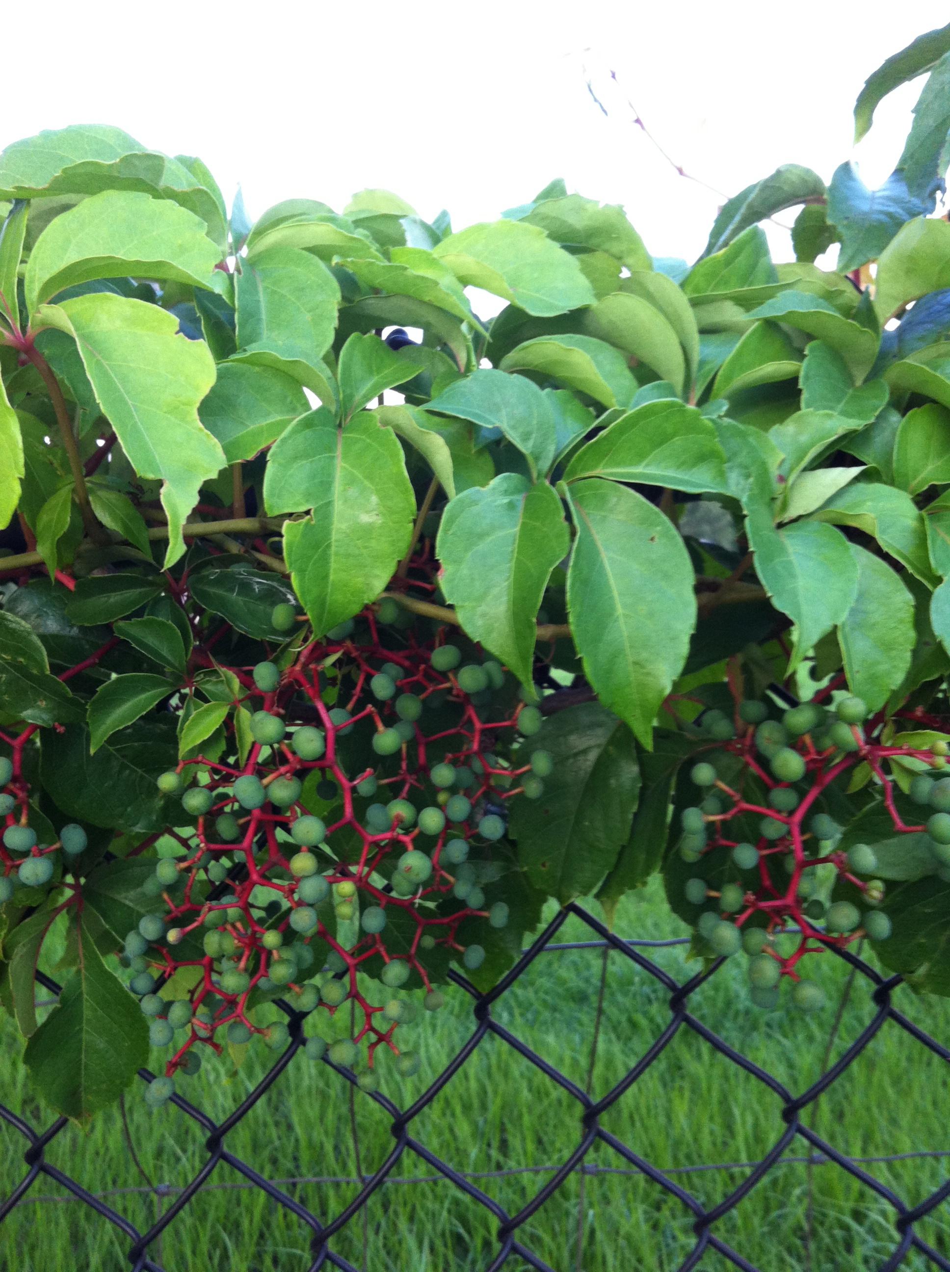 Wild Vines In June 40acrewoods