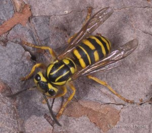 southern yellow jacket