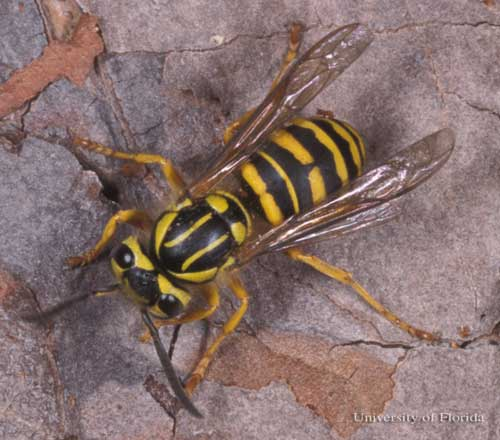 Southern Yellow Jackets | 40acrewoods