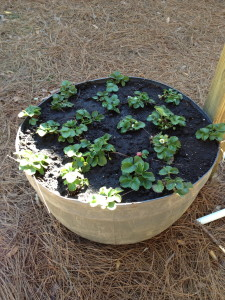 Strawberry Pot Planted