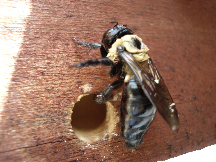 Carpenter bees - photo#11