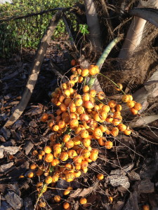 Pindo Palm Fruit
