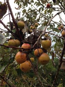 american persimmons 1