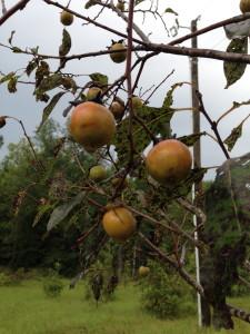 american persimmons 2